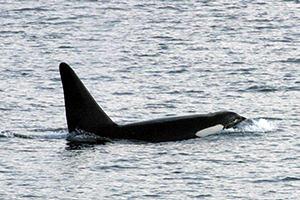 killerwhale_hokuai1_300*200C